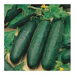 Cucumber Marketmore