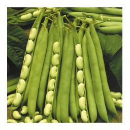 Dwarf Bean Flagrano